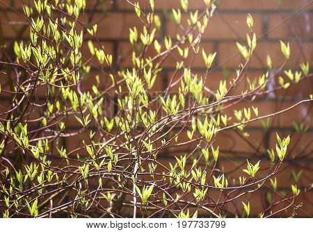 First green blossoms on a bush, brick wall blur background. Blossoms of bush in the early spring. Fragile branches with blossom in spring time on sunny day.