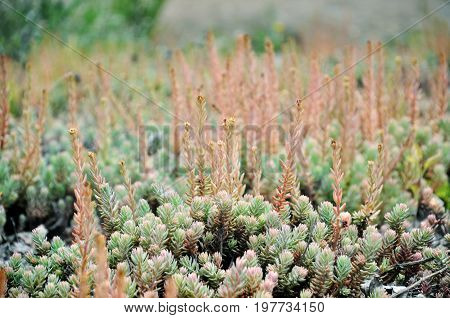 A lot of sedum plants growing on the ground close up.