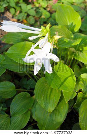 White flowers of hosta in the garden