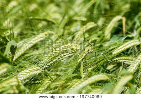 Closeup view of a bar of barley in a field with young green barley abstract background