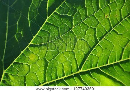 Natural texture of green leaves with weins close up.