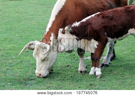 Hereford Cow (bos Taurus) With Calf Nuzzling Its Mother