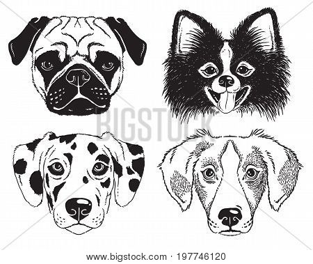 A set of 4 dog's faces - Pug Toy Pom Great Dane and Beagle. Black and white vector sketches.