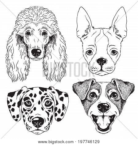 A set of 4 dog's faces - Poodle Boston Terrier Dalmatian and Fox Terrier/Jack Russel. Black and white vector sketches.