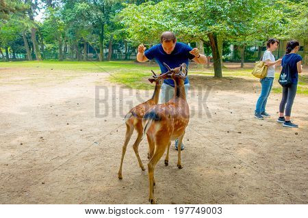 Nara, Japan - July 26, 2017: Unidentified man in from of two wild deers in Nara, Japan. Nara is a major tourism destination in Japan - former capita city and currently UNESCO World Heritage Site.