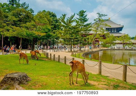Nara, Japan - July 26, 2017: Unidentified people walking to Todai-ji temple with some wild deers in front, with an Eastern Great Temple behind. This temple is a Buddhist temple located in the city of Nara, Japan.