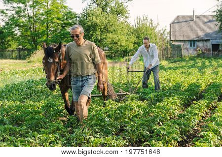 Farmers are plowing a land. He is using a plow and a horse to cultivate a soil. The man is hilling rows of potatoes.