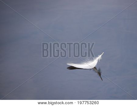 Single white feather floating on a calm lake