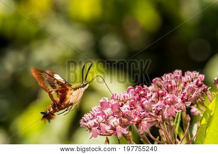 A close up of a Hummingbird Clearwing Moth feeding on a flower.