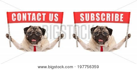 business pug dog holding up red banner sign with text contact us and subscribe isolated on white background