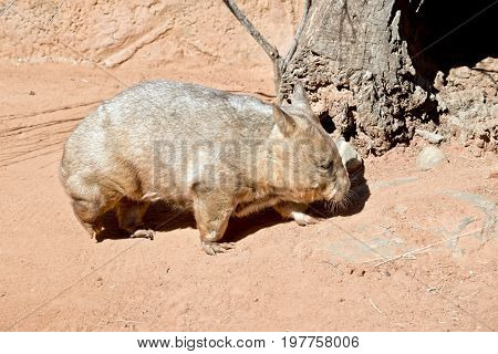 side view of a common wombat in nature