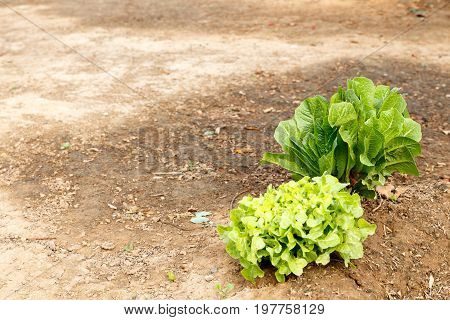 Green cabbage growing on the ground in Addo