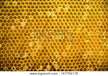 Drawn honey comb golden color from Frame