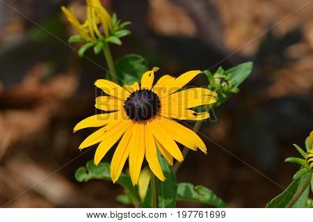 Black Eyed Susan flower growing in the garden