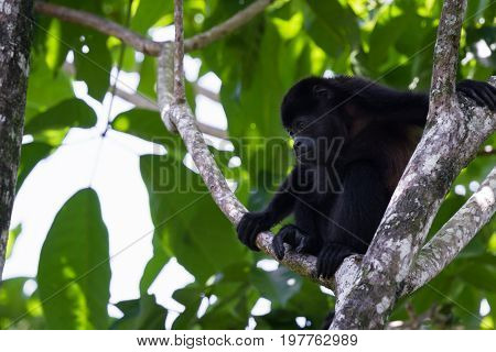 Howler Monkey In The Trees