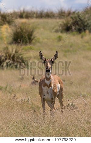 a pronghorn antelope doe on the prairie