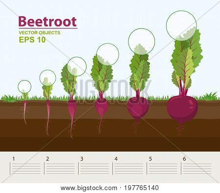 Vector illustration in flat style. Phases and stage of growth development and productivity of beetroot in the garden. How grows beets step by step. Distance between plants. Infographic concept