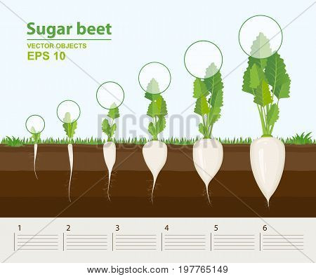 Vector illustration in flat style. Phases and stage of growth development and productivity of sugar beet in the garden. How grows beets step by step. Distance between plants. Infographic concept