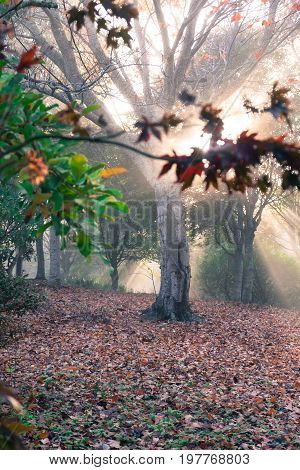 Rays of golden sunshine in ethereal woodland forest in New Zealand NZ
