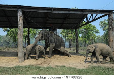 Chitwan National ParkNepal - April 15 2014: Elephants and a man