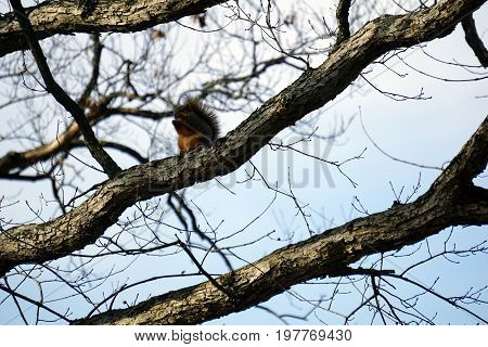 An eastern fox squirrel (Sciurus niger) sits on a tree limb in the Hammel Woods Forest Preserve in Shorewood, Illinois, during December.
