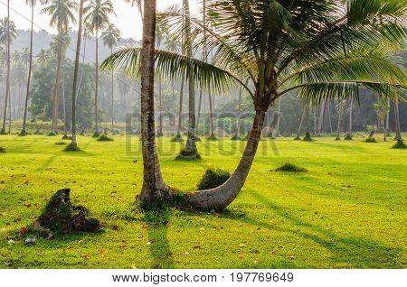 Twin palm trees - Espiritu Santo Vanuatu