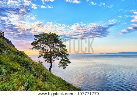 Lake Baikal. Lonely pine on green of west coast. Irkutsk region. Russia