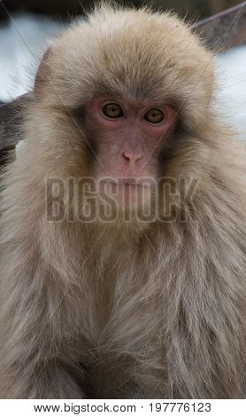 Close up of a young snow monkey gazing at the camera. Photographed with shallow depth of field.