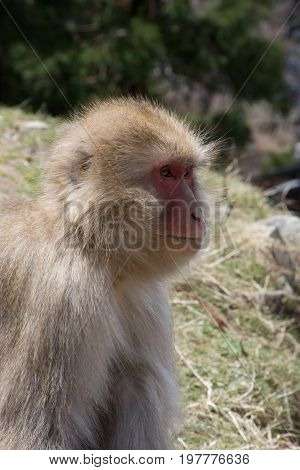 Close up of a snow monkey or Japanese macaque in profile seated in grassy field.