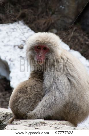 Close up of Japanese macaque or snow monkey mother and baby sitting on rocks with snow in the background. Shallow depth of field.