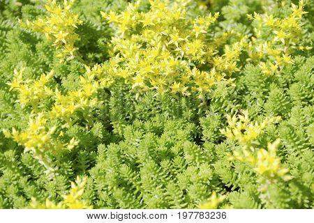 Ground-cover plant. Sedum caucasicum. Sedum caucasicum. Green