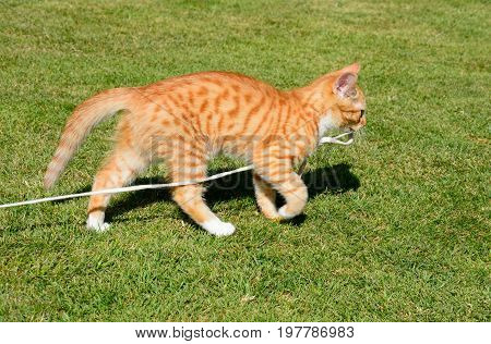 Twelve week old ginger kitten playing with a string in the garden UK.