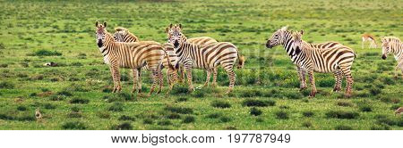 Group of zebras on grassland in Africa National park of Kenya