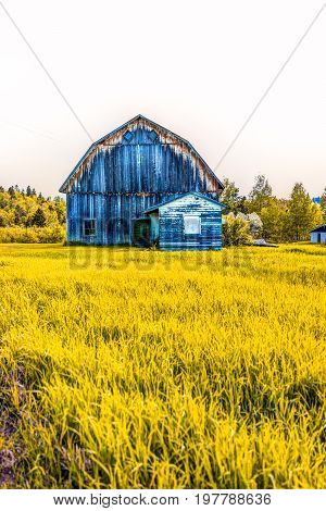 Blue Painted Old Vintage Barn Shed House In Autumn Landscape Golden Grass Field In Countryside