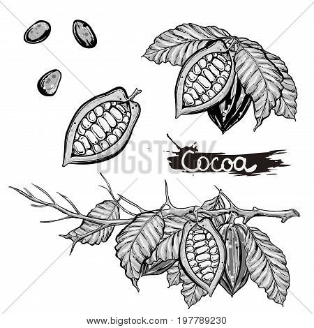 hand drawn vector illustration set of gray scale cocoa branch, leaf, bean on white background. sketch.