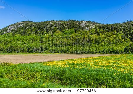 Quebec farm landscape with brown plowed field in summer with mountain cliffs in Canada and yellow dandelion flowers