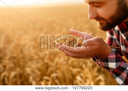 Smiling man holding ears of wheat near his face and nose on a background a wheat field. Happy agronomist farmer sniffs his crop caring about the rich harvest