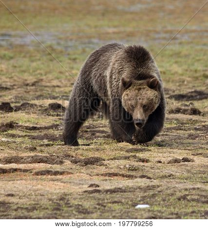 a powerful grizzly walks toward the camera