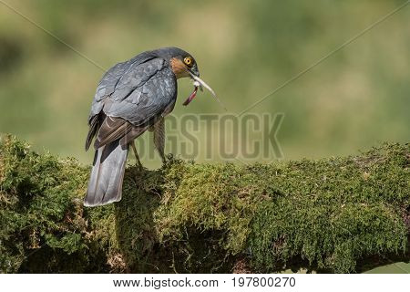 Close up of a male sparrowhawk perched on a lichen covered log finishing eating its prey with tail of mouse sticking out of its beak