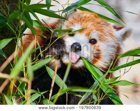 Red panda sitting on the branch and sticking its tongue out.