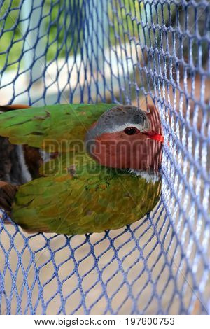 The birds trapped in the nets Common Emerald Dove Rain forest animals in Thailand.