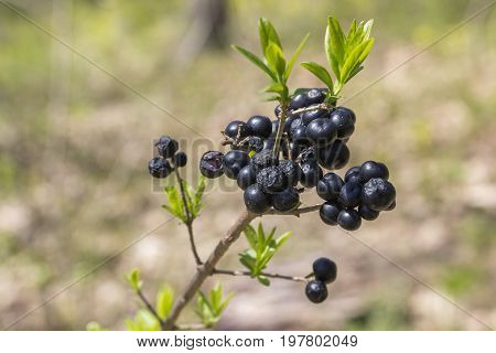 Common Privet Berries In The Forest