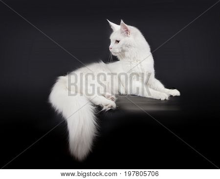 Fluffy white cat Maine Coon Lies on a black background.