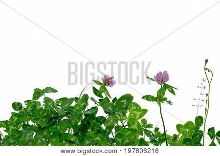 green gnawed clover isolated on white background with copy space