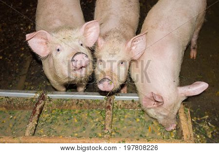 Three white piglets who eat from trough in a sty