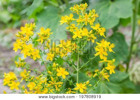Stem of the St John's wort with yellow flowers on a blurred background