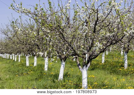 Plum Trees Flowering Time, Spring Orchard