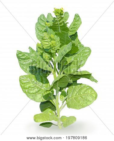 Stem of tobacco with young leaves flowers and buds on a white background close-up