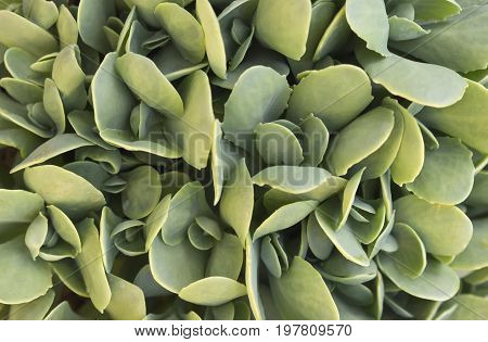 Sedum Maximum, Hermelika Background