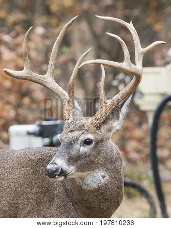 White Tail Buck 10 Point Close Up Image